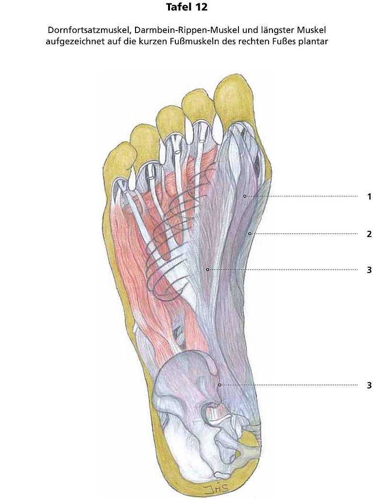 Fantastisch Rippenmuskelanatomie Zeitgenössisch - Anatomie Ideen ...